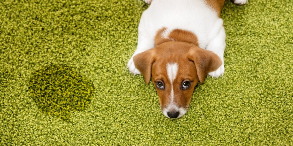 Pet Proofing Your Carpet United Carpets And Beds